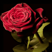 Bloomy Rose Live Wallpaper icon