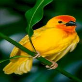 Cute Yellow Bird LWP icon