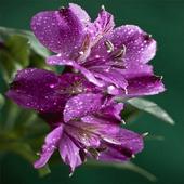 Dewy Purple Flower LWP icon