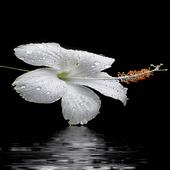 Dewy White Flower LWP icon