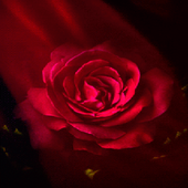 Flare Pink Rose LWP icon