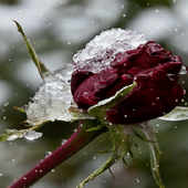 Frozen Red Rose LWP icon