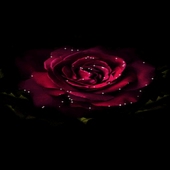 Light Rose Blooming LWP icon