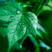 Rainy Leaf Live Wallpaper icon