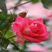 Rainy Pink Rose LWP icon
