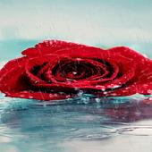 Rainy Red Rose LWP icon
