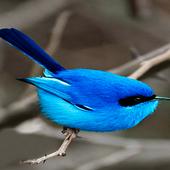 Small Blue Bird LWP icon