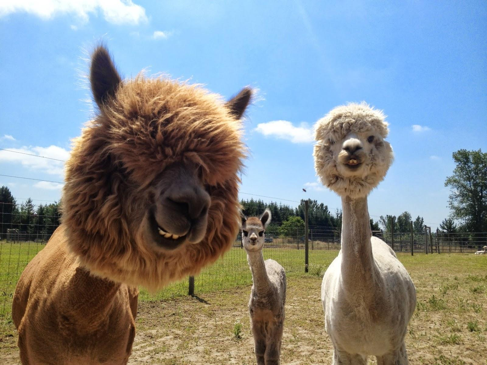 Alpacas Wallpaper For Android Apk Download