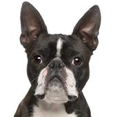 Boston Terrier Dog Sounds icon