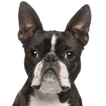Boston Terrier Dog Sounds poster