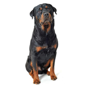 Rottweiler Sounds & Dog Sounds icon