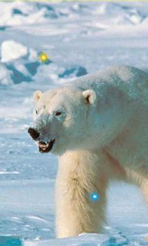 Winter Bears Songs HD LWP poster