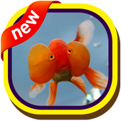 Bubble Eye Goldfish Wallpapers icon