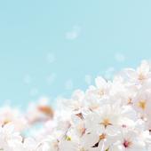 Cherry blossom Bloom Theme icon