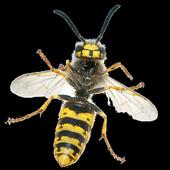 Wasps icon