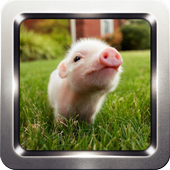 Cute Little Pig Wallpapers icon