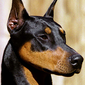 doberman live wallpapers icon