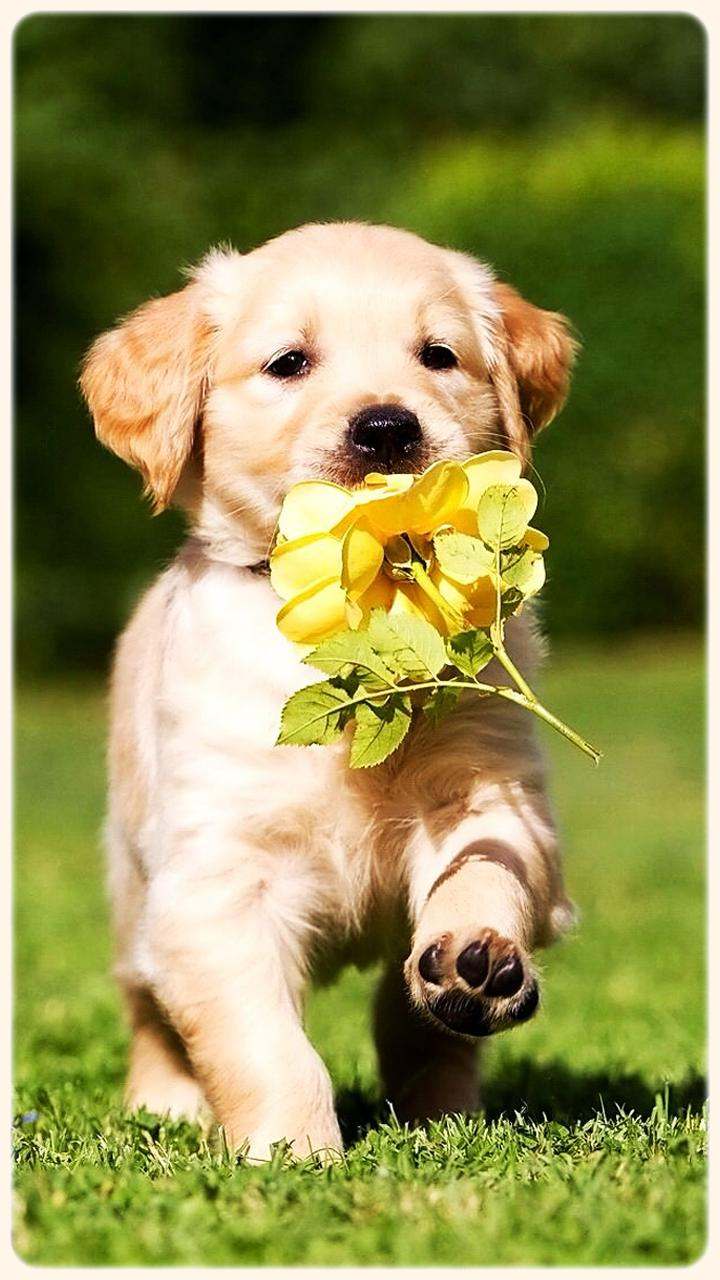 Golden Retriever Puppies Wallpapers Wallpapers Style