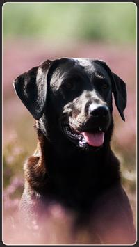 HD Labrador Retriever Wallpapers - Dogs Background poster
