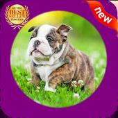 Cute Bulldog WP icon