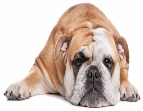 Cute Bulldog WP poster