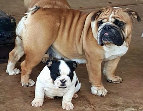 Cute Bulldog WP screenshot 1