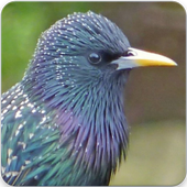 Common Starling Call : European Starling Song for Android - APK Download