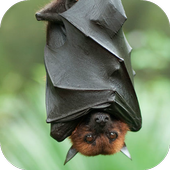 Bat Sounds icon