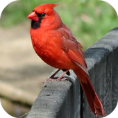 Cardinal Bird Sounds icon