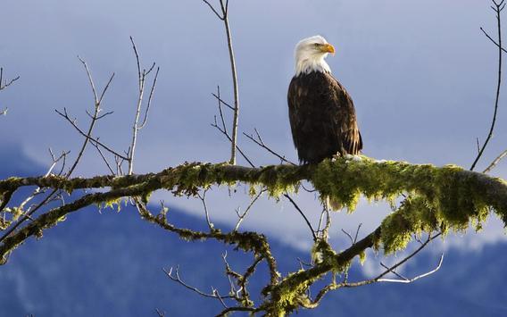 Eagle Wallpaper screenshot 4