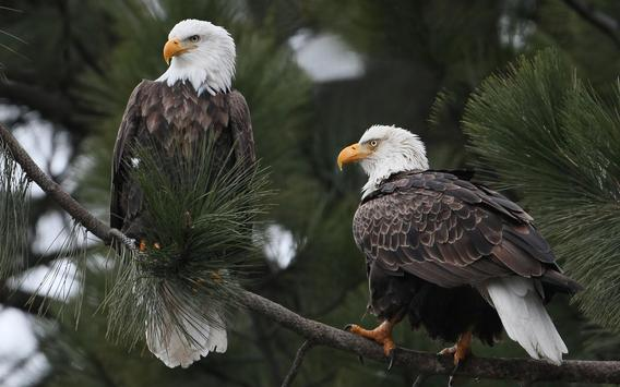 Eagle Wallpaper screenshot 5