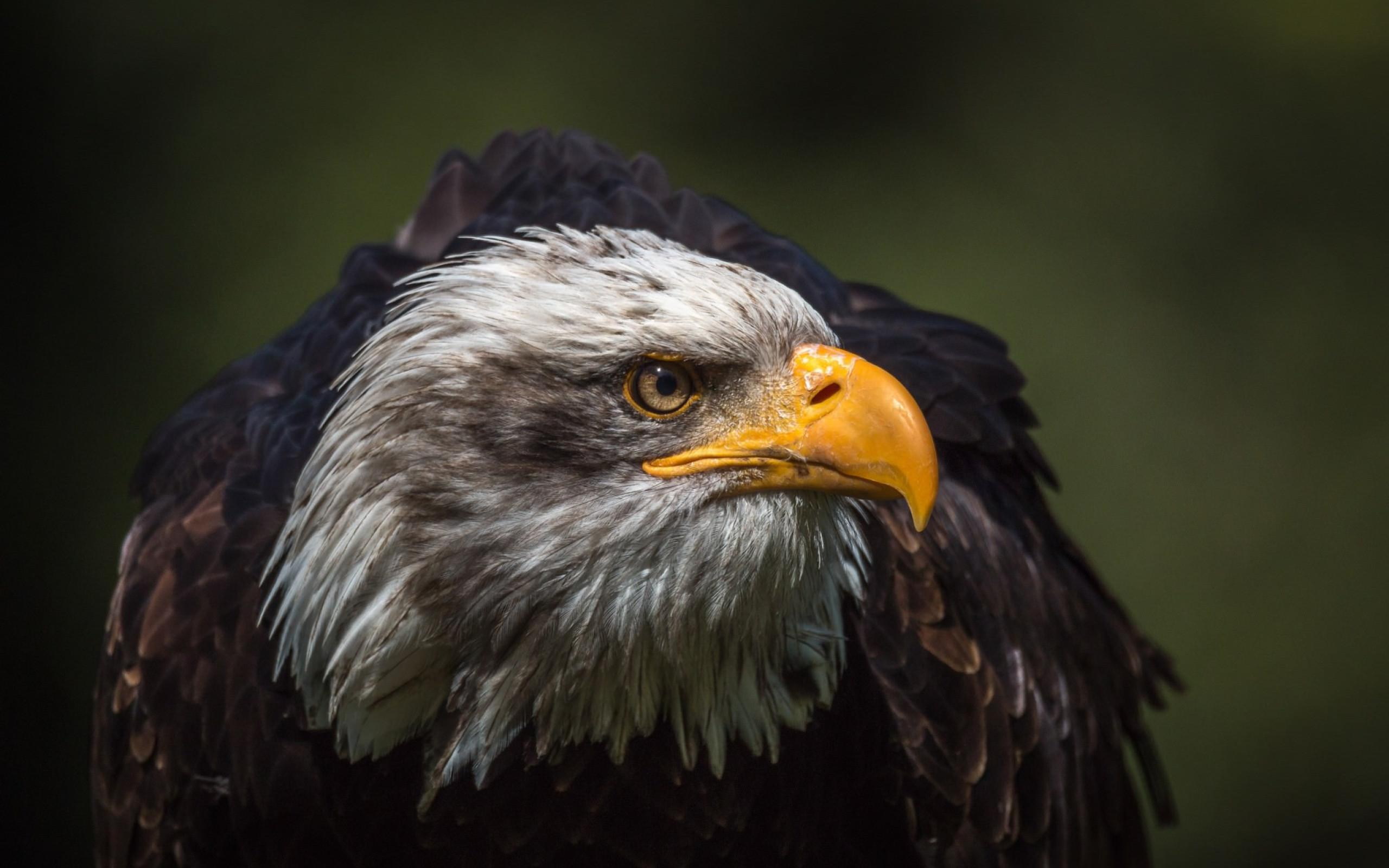 Eagle Wallpaper Pictures Hd Images Free Photos 4k For Android Apk Download