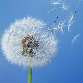 HD Dandelion Wallpapers icon
