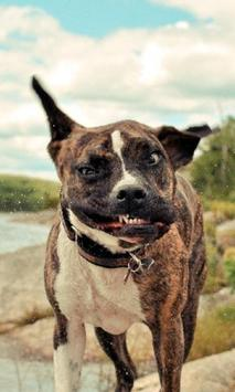 American Staffordshire Terrier Funny Jigsaw Puzzle apk screenshot