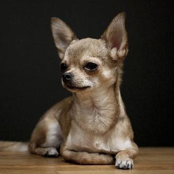 Chihuahuas Dog Funny Jigsaw Puzzle apk screenshot