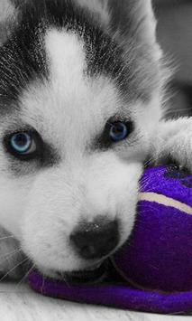 Huskies Dogs Funny Jigsaw Puzzle screenshot 1
