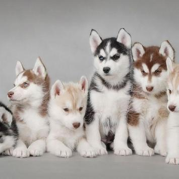 Huskies Dogs Funny Jigsaw Puzzle screenshot 3