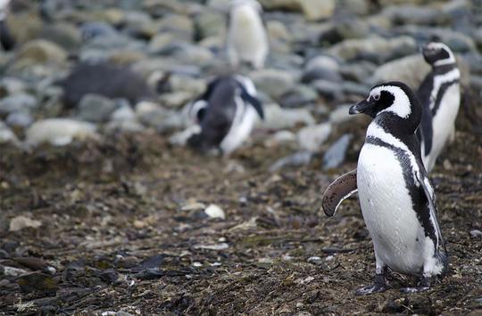 Pinguin live wallpaper apk screenshot