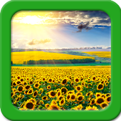 Sunflower Live Wallpapers icon