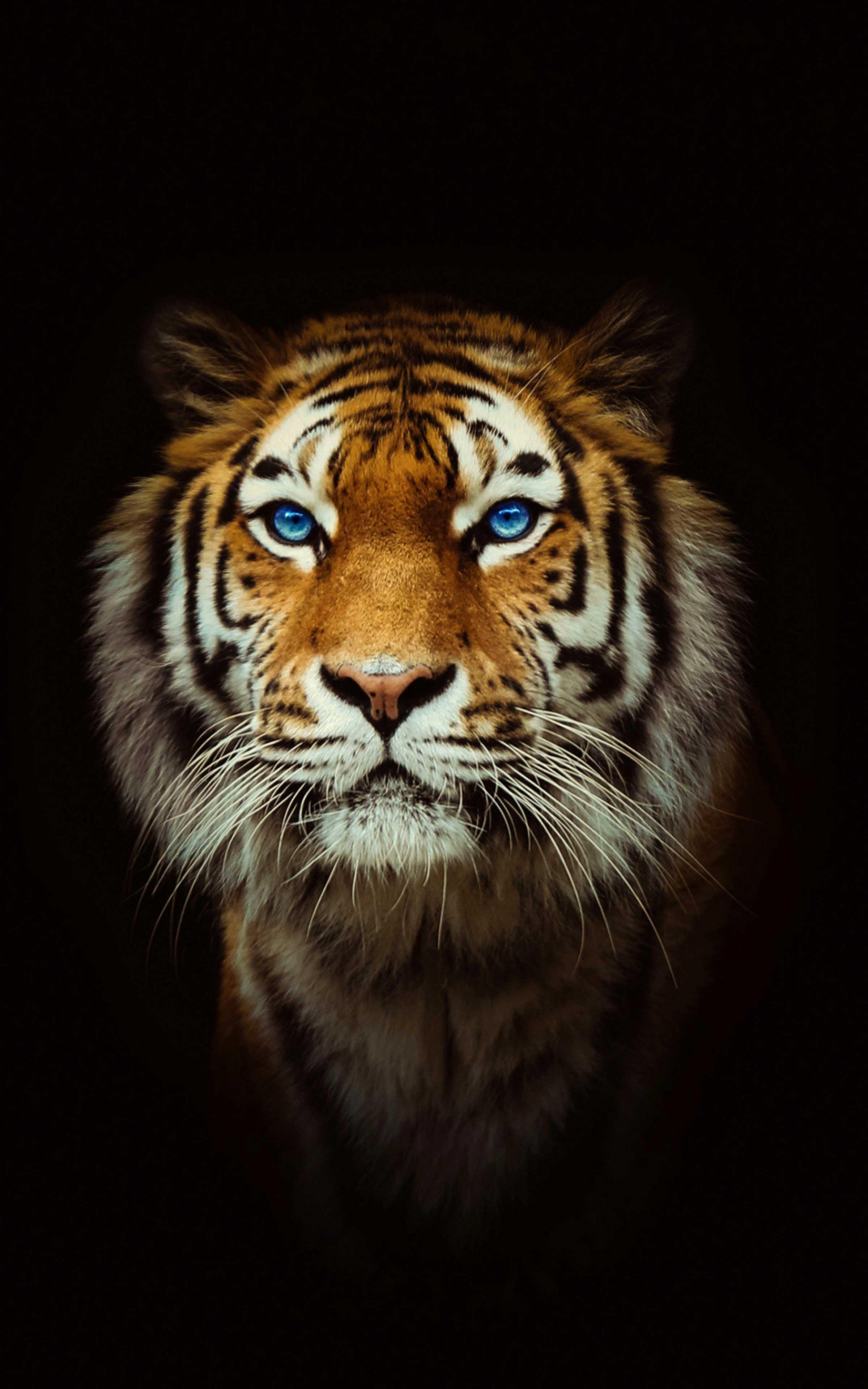Tiger Wallpaper 4k Best Cool Tiger Wallpapers For Android
