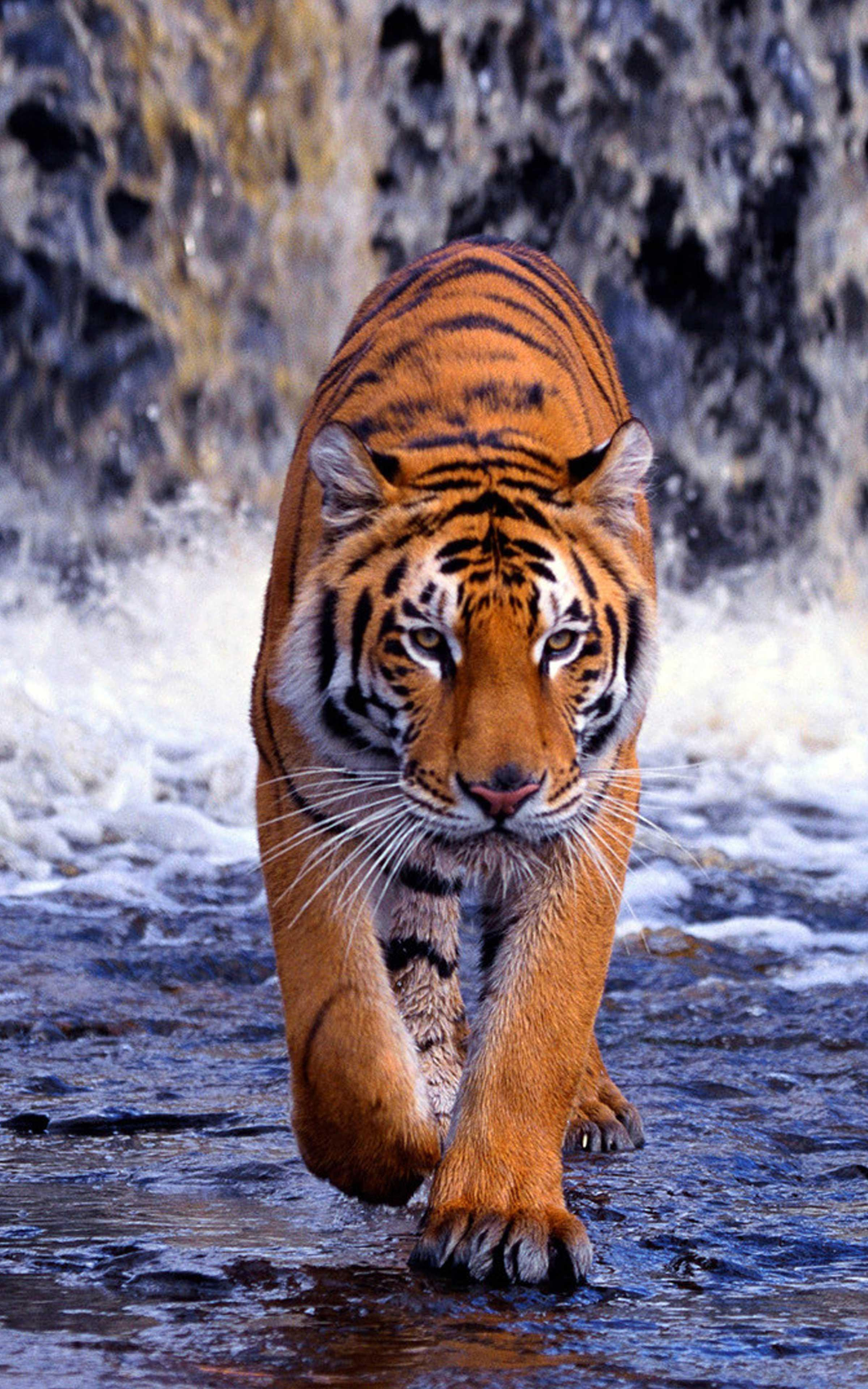 Tiger Wallpaper 4k - Best Cool Tiger Wallpapers for ...