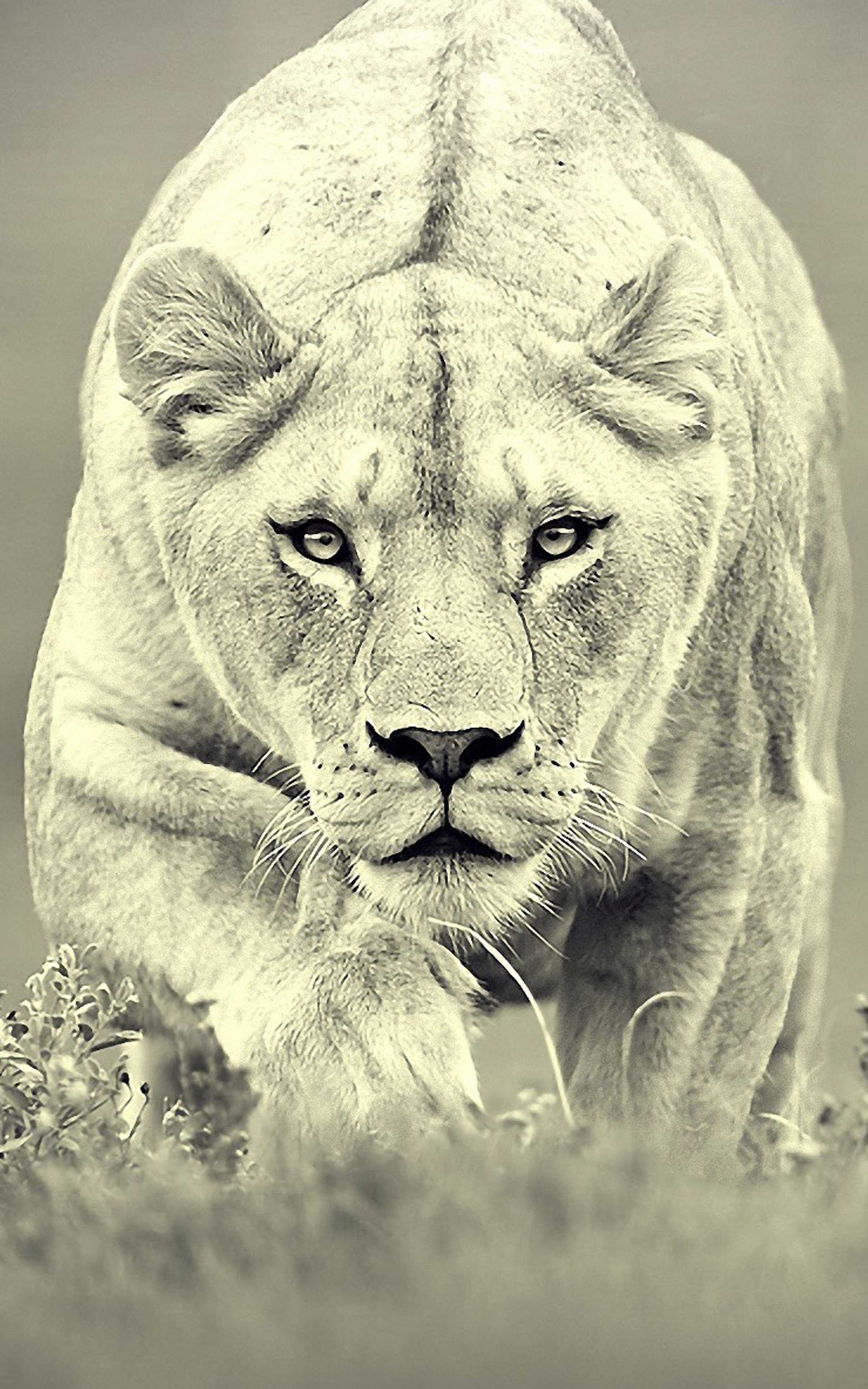 Lion Wallpaper For Mobile Best Lion Wallpapers For Android