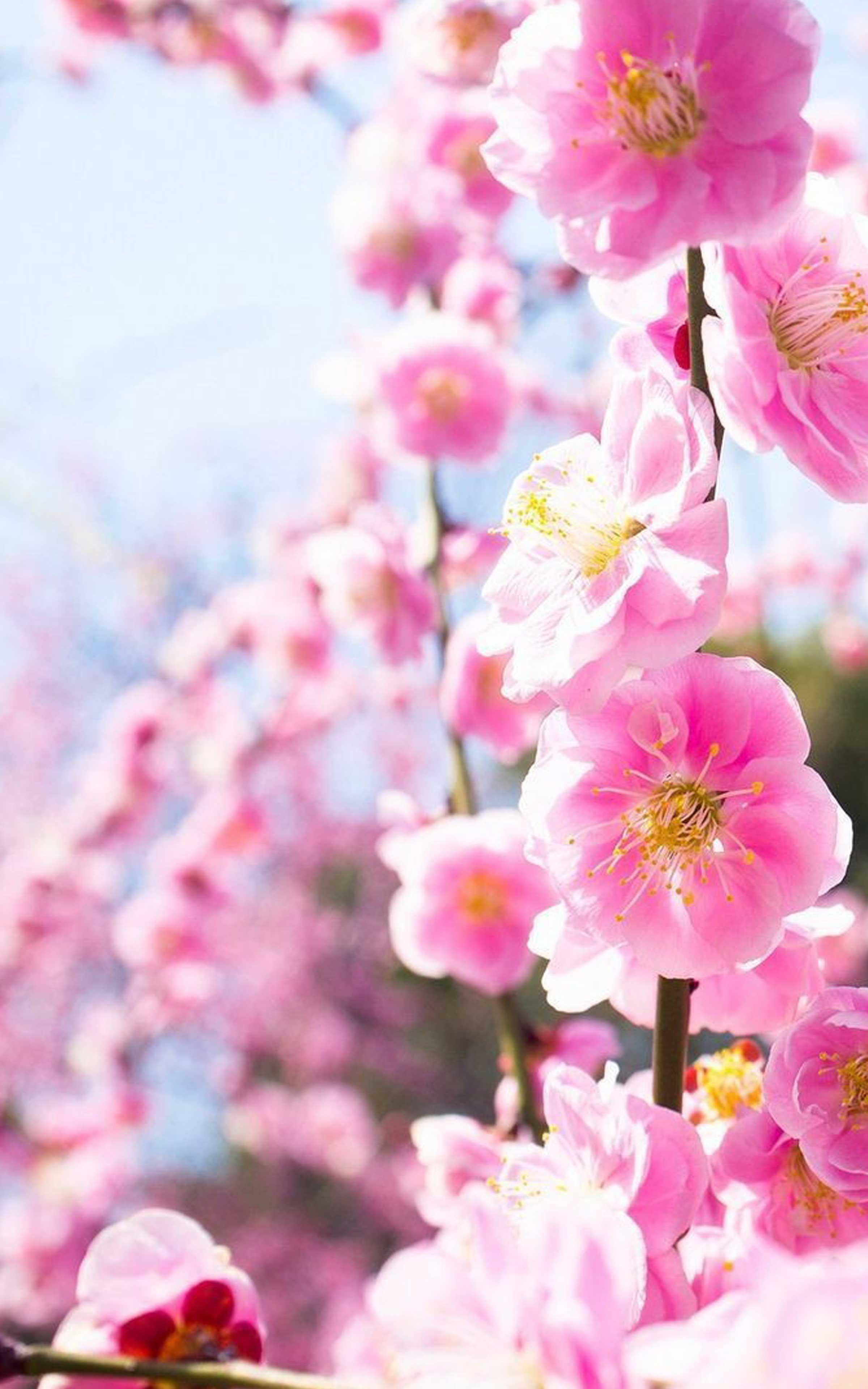 Pink Flower Wallpaper HD - Pink Flower Wallpapers for ...