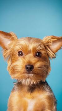 Yorkshire Terrier Wallpaper poster