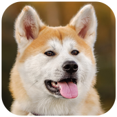 Akita Wallpaper icon