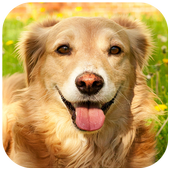 Golden Retriever Wallpaper icon