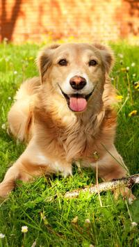 Golden Retriever Wallpaper apk screenshot