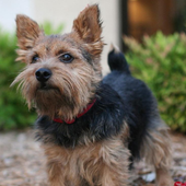 Norwich Terrier Jigsaw Puzzle icon