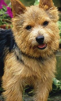 Norwich Terrier Jigsaw Puzzle poster