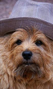 Norwich Terrier Jigsaw Puzzle apk screenshot